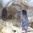 イワトビペンギンひなのお出かけ1
