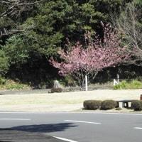 心に残る「雪割り桜」~足摺岬大戸