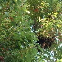 クスノキ並木
