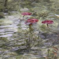 モネの池  冬景色