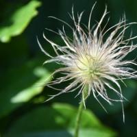 翁草の採種と種蒔きを終える