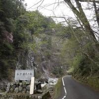 亀腹岩のアケボノツツジ満開②(4月25日)