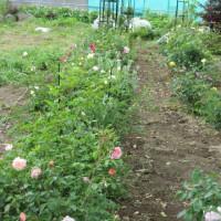 耕作放棄地からバラ園へ 2017 .5.28