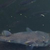ハワイのお魚@アラワイ運河