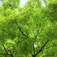 新緑がきれいです