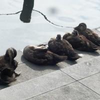 新川で育つ子ガモ7羽