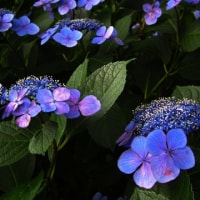 夕方の紫陽花