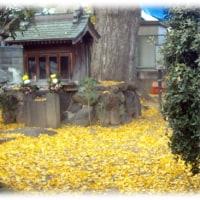 初冬の高槻風景(^^♪銀杏の大木の下、一面に広がった黄葉した落ち葉の絨毯