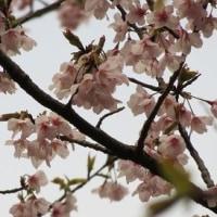 ヤマザクラが咲いた