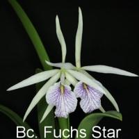 ブラソカトレア フックス スター(Bc. Fuchs Star)