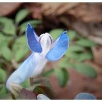 エゾエンゴサクの花、クリオネみたい (#^^#)