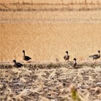 今日の野鳥  北印旛沼散策で会った鳥達  ヒシクイ・コハクチョウ・オナガオナガ