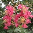 百日紅(さるすべり)という花