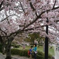 今年の桜は…
