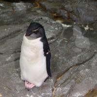 イワトビペンギンの若鳥3