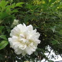 白モッコウバラが咲く朝  2017 春バラその3