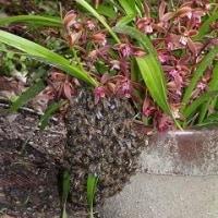 僕の庭に 日本ミツバチが来た。