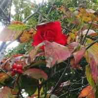 ハナミズキの実とバラ