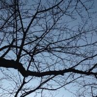桜ガーデンの桜も蕾がふっくらと〜🌸