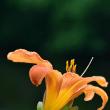 オレンジ色のキスゲ