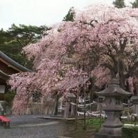 楽翁桜開花状況 4月20日 ~暴風に耐えて満開~