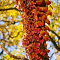 07/Dec 上弦の月と蔦の紅葉と野茨のカワセミ