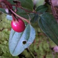 ツルリンドウ(蔓竜胆)の実