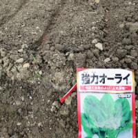 冬野菜 チンゲン菜の植え付けとほうれん草の種まき