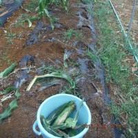 大雨後の収穫