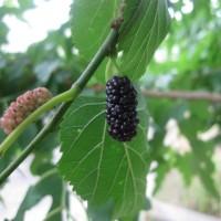 桑の実(Mulberry)