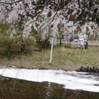 花島公園さくら満開