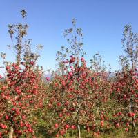 安曇野の宿から・リンゴの季節