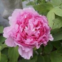 4.26庭の花