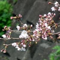 弘明寺の桜情報