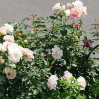 一期一会の庭のバラ景色の中で