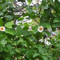 夏ツバキの開花