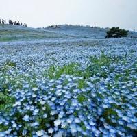 みはらしの丘(ネモフィラ)Ⅱ ~ 国営ひたち海浜公園