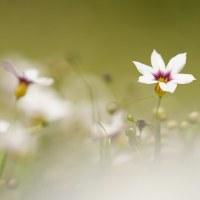 庭石菖 (花 4428)