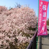 一の堰ハラネ春めき桜 2017 その1