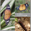 珍しい蝶、毒をもってる?