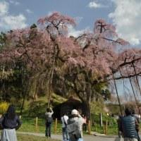 三春滝桜・・・・メインに花見に