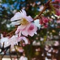 寒桜が咲いて