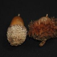 冬芽の観察85カシワ4