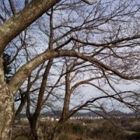 3月25日 七十二侯(桜始開)