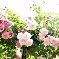 薔薇は終盤へ  ①