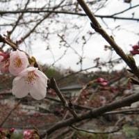 安佐北区でも開花 - - ソメイヨシノ - -