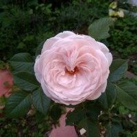クリスティアーナ 薔薇