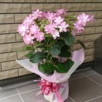 ピンクの紫陽花(*^^*)