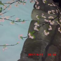 黒田節をイメージした私の桜