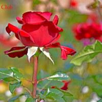 グリーンパークの薔薇 (投稿 2)
